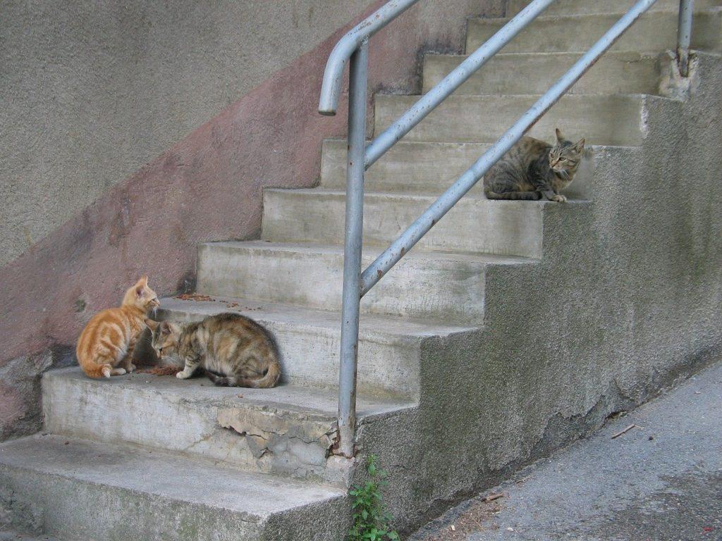un chat de gouttière est plus enclin à contracter un abcès comment soigner