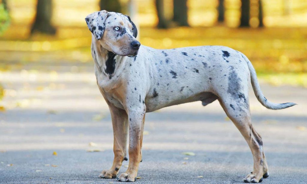 bulldog catahoula